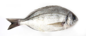 Black sea bream (Spondyliosoma cantharus)