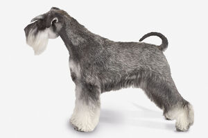 Black and silver Miniature Schnauzer dog, standing