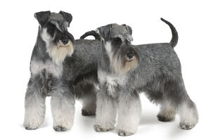 Two black and silver Miniature Schnauzer dogs, standing