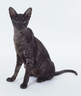 Black Smoke Oriental shorthaired cat with shadowy tabby markings, sitting.