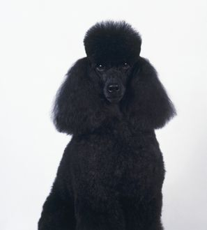 Black Standard Poodle looking at camera showing clipped fur