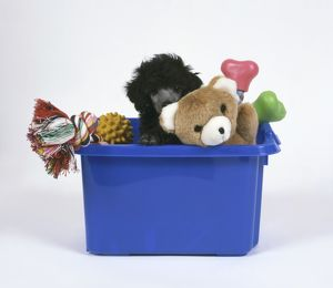 Black Standard Poodle puppy sitting in blue box peeking from behind pet toy