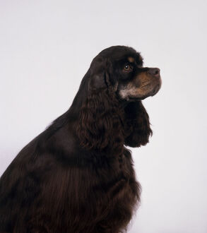 Black and tan American Cocker Spaniel with head in profile, sitting