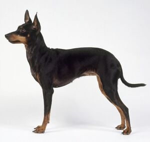 A black and tan English Toy Terrier, side view