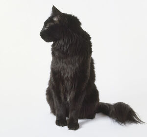 Black Turkish Angora cat with pointed ears and bushy tail, sitting