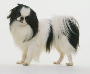Black and white coloured Japanese Chin dog (Canis familiaris), head turned towards camera