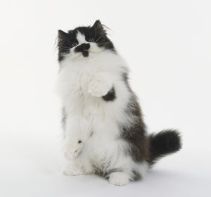Black and White longhaired British cat, standing on hind legs with right paw raised.