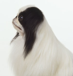 Black and white Pekingese dog (Canis familiaris), close up, side view.