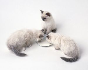 Two blue Birman kittens drinking milk from white saucer as another kitten looks on