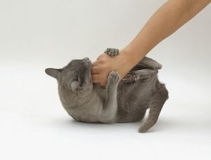 Blue Burmese lying on back gripping hand with claws and biting
