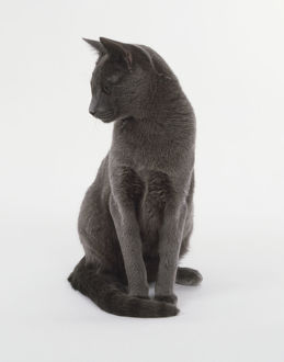 Blue Chartreux Cat (Felis catus) sitting up and looking to the side, front view