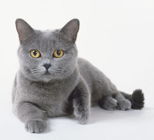 Blue-Grey Chartreux cat with brilliant orange eyes, blue nose and lage, broad head