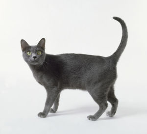 Blue Korat cat with heart-shaped face and luminous green eyes, standing.