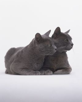 Two blue Korat cats (Felis silvestris catus), seated together and looking to one side