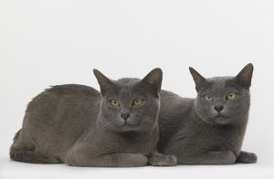 Two Blue Korat Cats (Felis silvestris catus) lying on their front side by side, front