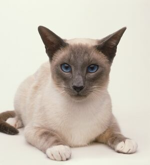 A Blue-point Snowshoe Siamese Cat (Felis catus), lying down, front view