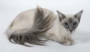 Blue Tabby Point Balinese cat with triangular head and long, well-plumed tail, lying down.