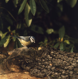 Blue Tit perched on tree trunk.