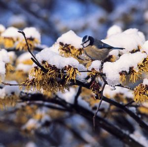 Blue Tit on snow-covered Witch-Hazel branchlet