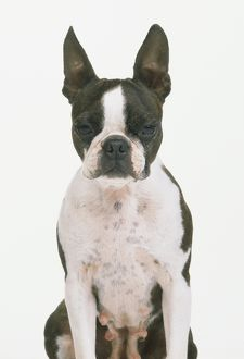 Head of Boston terrier.