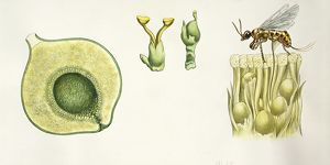 Botany, Pollination process of a Ficus, illustration