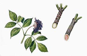 Botany, Trees, Adoxaceae, Fruits and branches of Elderberry Sambucus nigra, Illustration