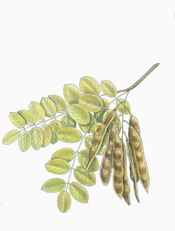 Botany, Trees, Fabaceae, Leaves and fruits of Robinia Robinia pseudoacacia, illustration