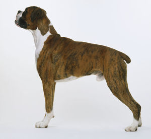 Boxer (Canis lupus familiaris) standing, side view.