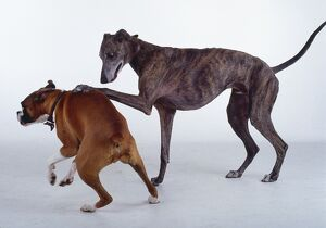 Boxer and greyhound dog