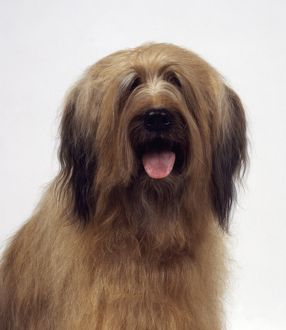 Briard, French long-haired herding dog panting