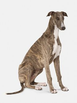 Brindle and white Greyhound, sitting dog