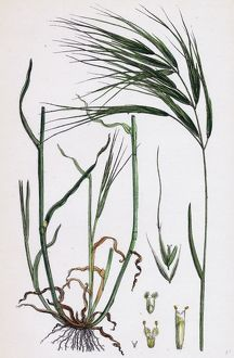 Bromus maximus, Great Brome-grass