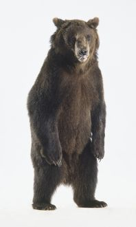 Brown Bear (Ursus arctos) standing