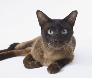Brown Tonkinese cat with chocolate-coloured tail and almond-shaped eyes, lying down.