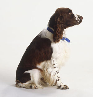 Brown and white spaniel sitting, wearing blue collar, looking up attentively, side view