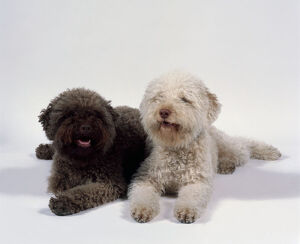 Two brown and yellow Lagotto Romagnolo dogs lying down