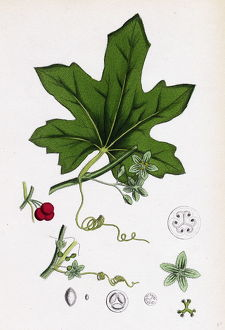 Bryonia dioica, Red-berried Bryony