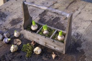 Bulbs planted in a wooden box