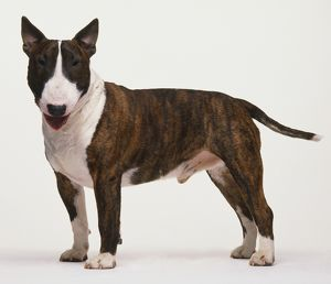Bull Terrier (Canis familiaris) standing, head turned left, side view.