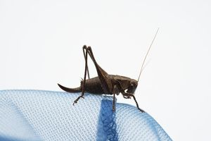 Bush cricket (Katydid) sitting on blue fabric, side view