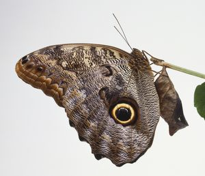 A butterfly with large eye spot a its wing clings to the end of a twig beside the