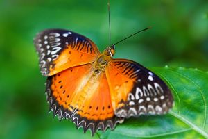 Butterfly. Red Lacewing Cethosia Biblis