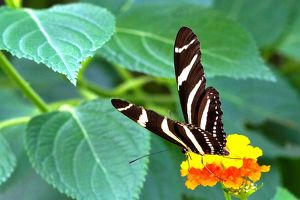 Butterfly. Zebra. Longwing