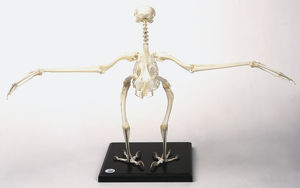 Buzzard skeleton with wings outstretched,