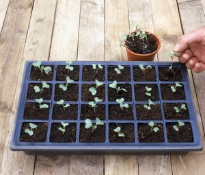 Cabbage seedlings in a module tray and a seedling being transplanted from a pot into the module