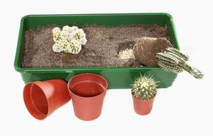 Cacti transplanted from pots into planting tray