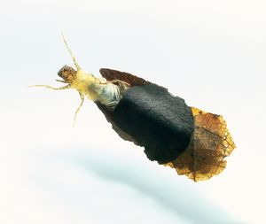 Caddis fly larva emerging from cocoon