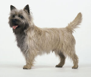 Side of Cairn Terrier