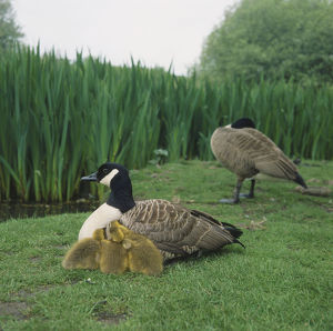 Two Canada Geese (Branta canadensis) on grass by edge of field, one sitting with