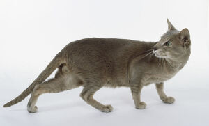 Caramel Ticked Oriental shorthaired cat with tabby stripes on legs, looking back whilst walking